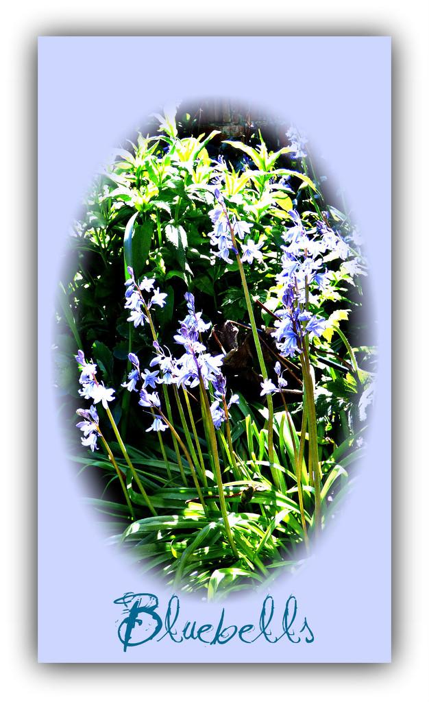 Bluebells  by beryl