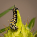 Monarch Caterpillar by glendamg