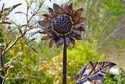 15th Apr 2020 - a copper sunflower