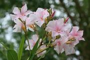 15th Apr 2020 - Oleander