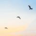 Pelicans by danette