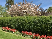 15th Apr 2020 - On the Blossom Trail
