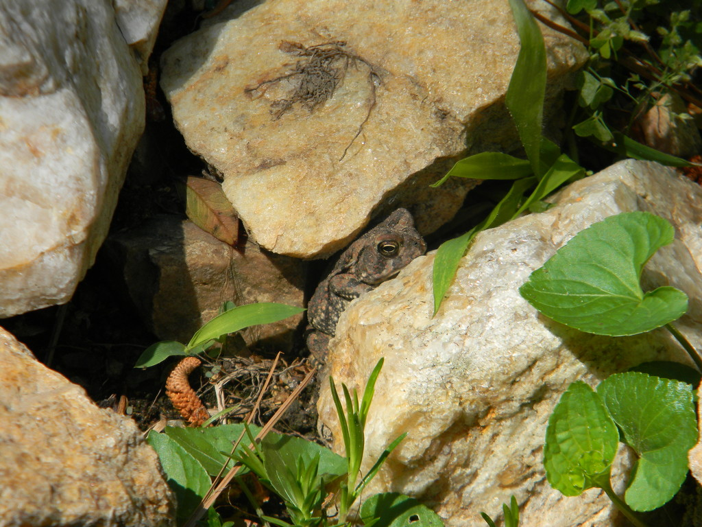 Toad Hiding Between Rocks  by sfeldphotos