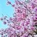 Pink spring !! by cocobella