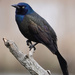 Common Grackle by annepann