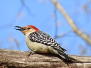 15th Apr 2020 - Woodpecker and Oak Branch