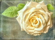 16th Apr 2020 - The same Rose