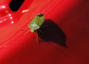 16th Apr 2020 - Shield Bug