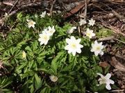 16th Apr 2020 - Wood anemone