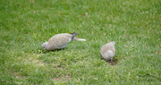 16th Apr 2020 - Mourning dove