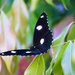 Common eggfly butterfly. by sugarmuser