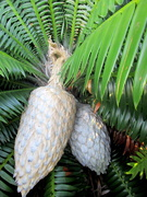 17th Apr 2020 - Leaves & cones of a  Cycad