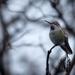 Winter Hummingbird  by teriyakih