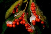 17th Apr 2020 - Iris foetidissima seed cases