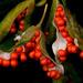 Iris foetidissima seed cases by maureenpp