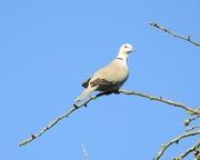16th Apr 2020 - Collard Dove