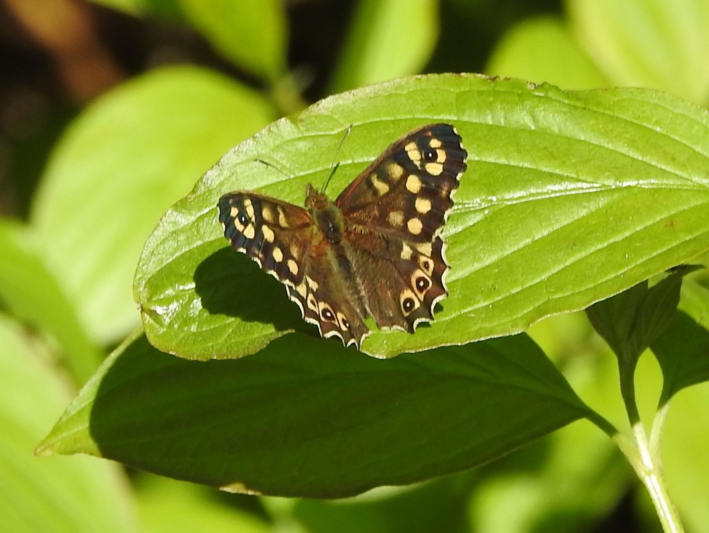Speckled Wood by oldjosh