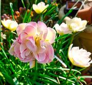 17th Apr 2020 - Double Tulip.