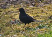 17th Apr 2020 - Blackbird