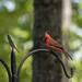 Cardinal by k9photo