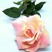 Rose by homeschoolmom