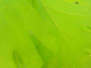 17th Apr 2020 - Oak Leaf Closeup