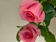 18th Apr 2020 - Valentine's Rose