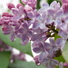 Raindrops on Lilac......... not quite the same ring to it!! by 365anne