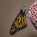 1 Day old Butterfly  by glendamg