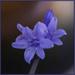 Captive Bluebell by ellida