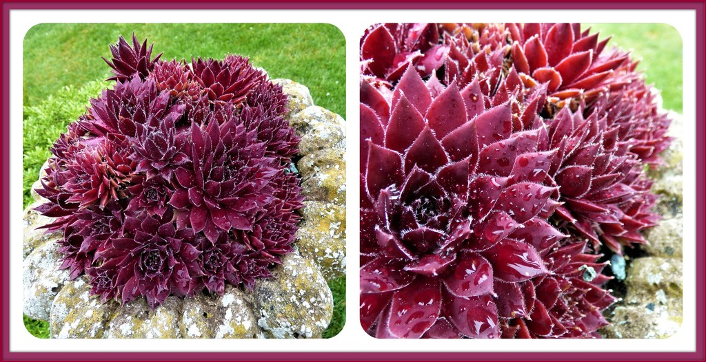 Sempervivum (houseleeks) by beryl