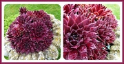 18th Apr 2020 - Sempervivum (houseleeks)