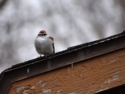 16th Apr 2020 - The Nice Sparrows