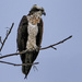 Osprey by tosee