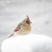 mrs. cardinal on 365 Project
