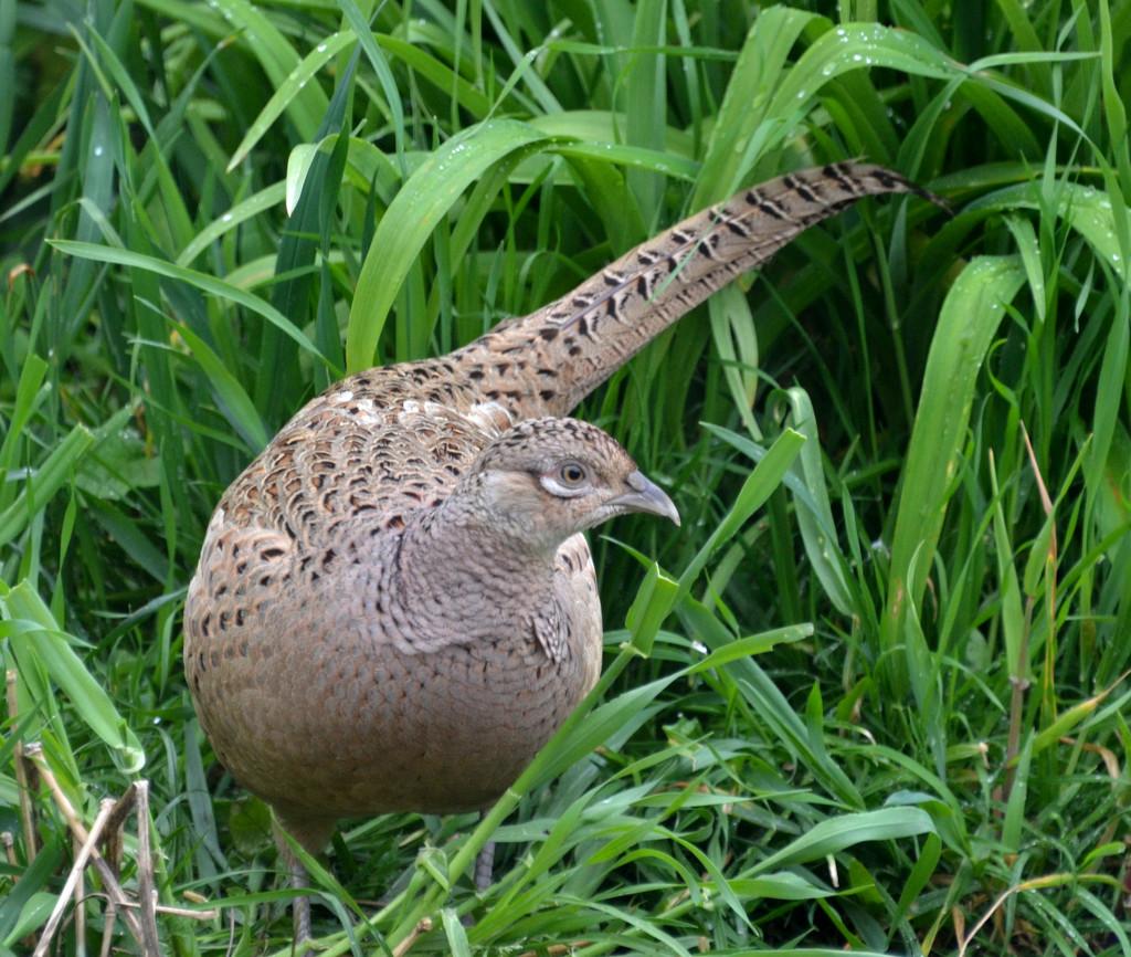 Female Pheasant by arkensiel