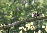 18th Apr 2020 - Goldfinch