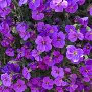 18th Apr 2020 - Purple flowers