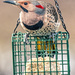 Male Yellow-shafted Flicker by skipt07