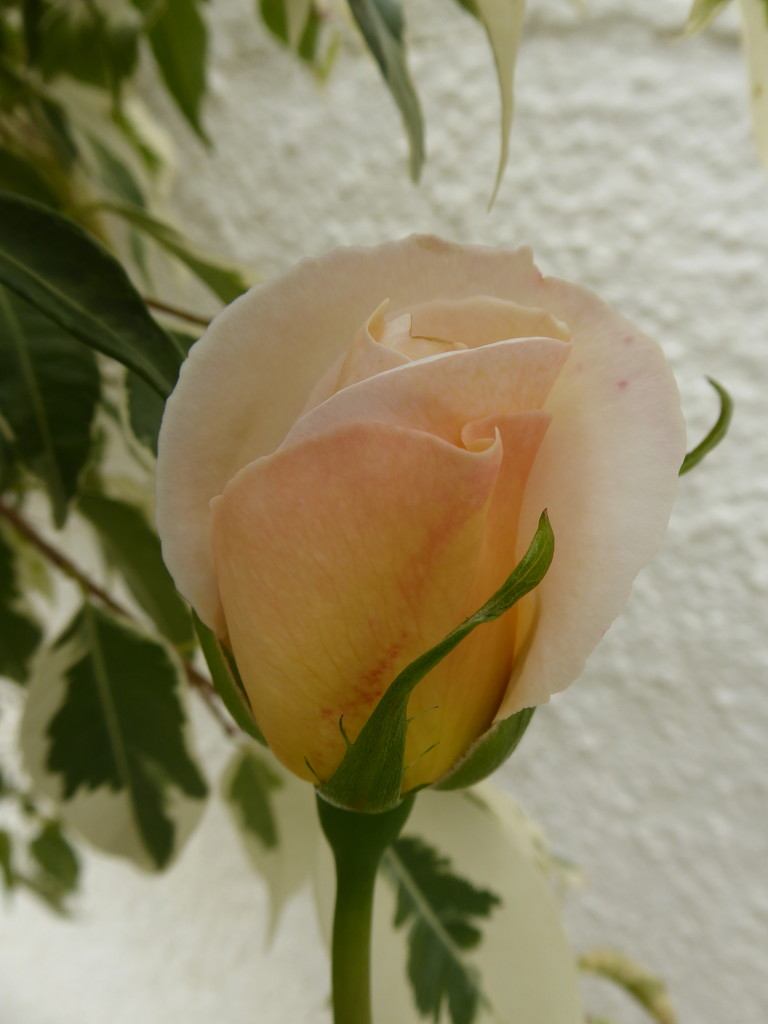 We have roses everywhere at the moment.  by chimfa