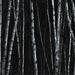 Birches Again by farmreporter