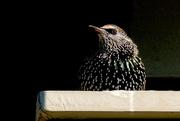 19th Apr 2020 - Starling