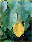 19th Apr 2020 - Leaves Series