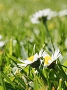 19th Apr 2020 - Daisy