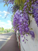 17th Apr 2020 - Wisteria near the tracks