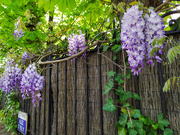 16th Apr 2020 - Wisteria lane