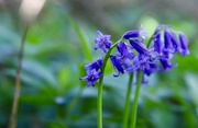 19th Apr 2020 - Bluebell