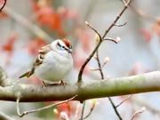 19th Apr 2020 - Spring Sparrow