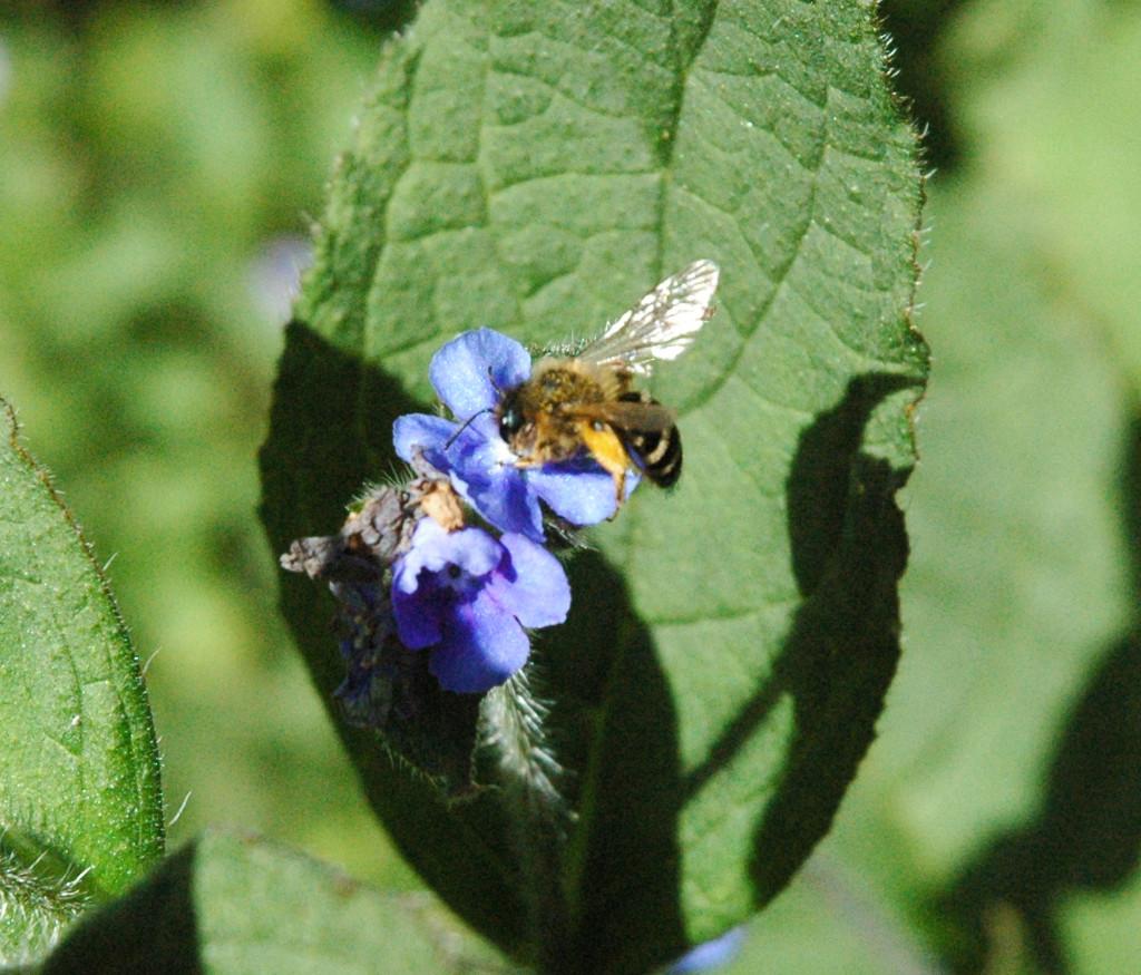 Honeybee by arkensiel