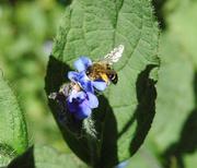 19th Apr 2020 - Honeybee